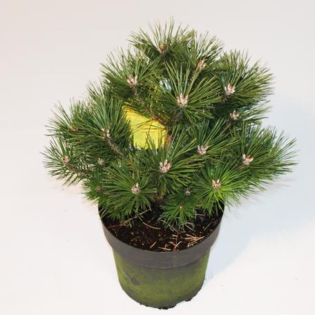"Krummholz-Kiefer ""Pinus mugo mughus"""