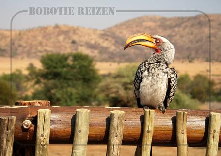 Rondreis Zuid-Afrika Safari Bobotie Reizen Hornbill vogel