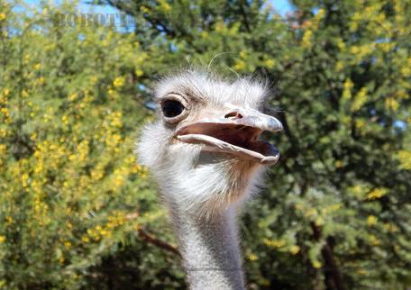 Rondreis Zuid-Afrika Safari Bobotie Reizen Struisvogel Oudtshoorn