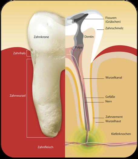 Wurzelbehandlung (Endodontie): Aufbau eines Zahnes (© proDente e.V.)