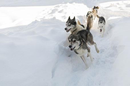 Husky, Schlittenhunde, Urlaub