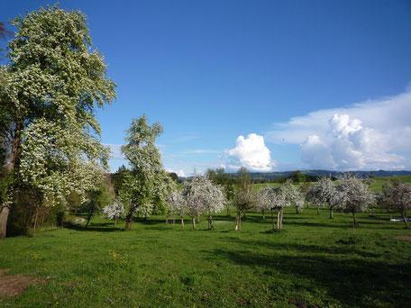 Steuobst, Baumgarten, Obstblüte