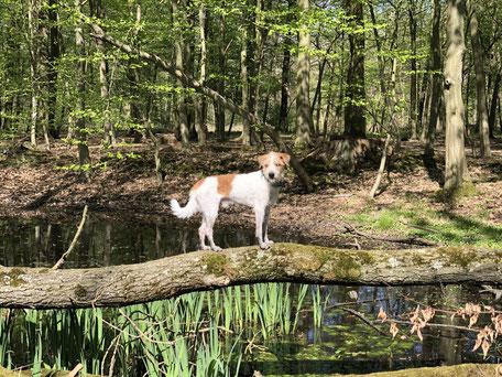 Kabou steht auf einem quer über einem Waldsee liegenden Baumstamm.