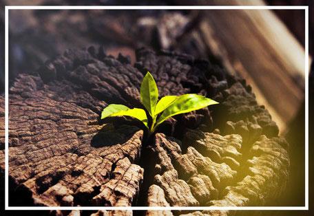 Heilungskräfte aktivieren: Neue Pflanze wächst aus abgestorbenem Baumstumpf