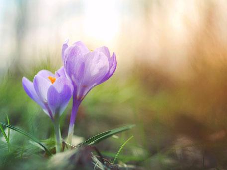 zarte Krokusblüten - Häusliche Gewalt hinter verschlossener Tür kann mit Traumatherapie reduziert werden