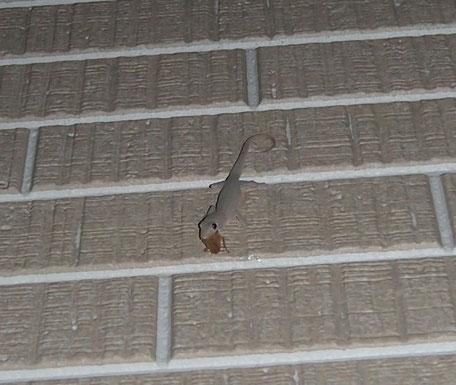 ミナミヒラタゴキブリを咥えたホオグロヤモリ