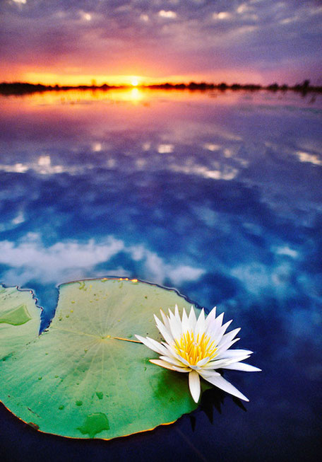 A picture of harmony as the sun going down over a body of water with a beautiful lily in the foreground area of the image.