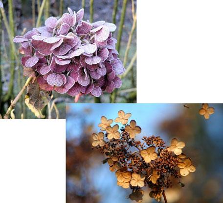 Bild: die Hortensie schöne Blüten im Winter