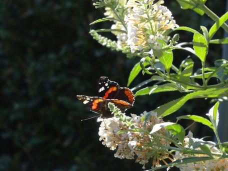 Bild: bunter Schmetterling auf weißer Blüte