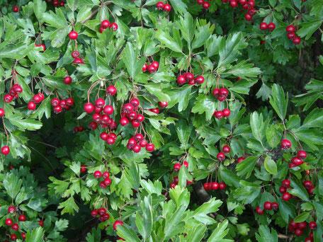 Bild: rote Früchte am eingriffeligen Weißdorn