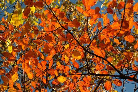 Bild: orangerote Herbstbelaubung - Gartengestaltung in Lüneburg
