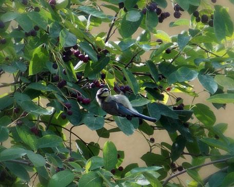 Bild: Eine Meise nascht die reifen Früchte der Kupferfelsenbirne
