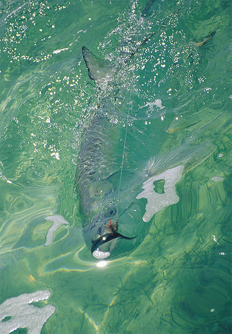 Fly fish Belize, FFTC.club saltwater destination, Mothership Rising Tide, Tarpon on the Fly, Fly fish saltwater adventure for bonefish, permit, and tarpon.