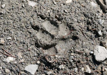 Trace d'un loup ; Alpes du Sud. Culture Maxime Lelièvre