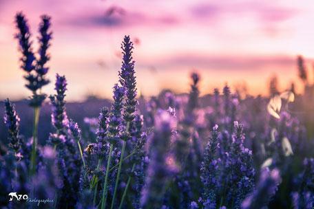 Champs de lavande - Valensole - lavande au coucher du soleil