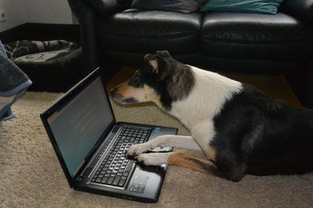 Foto: Blade liegt vor dem Laptop und hat seine Pfoten auf die Tasten gelegt. Mit der Nase schaut er auf den Bildschirm.