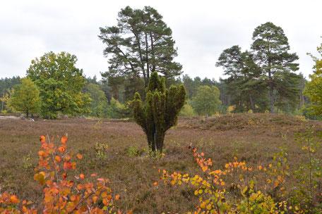 Landschaftsbild aus der Lüneburger Heide, im Vordergrund ein paar Zweige mit Herbstlaub, mittig im Bild ein Strauch umgeben von Heidekraut und im Hintergrund einige Bäume