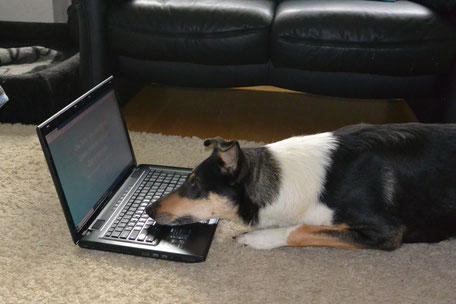 Blade liegt vor dem Laptop auf dem Fußboden, seine Nase liegt auf der Tastatur und er blickt in Richtung Monitor.