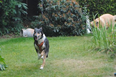 Blade rennt über eine Wiese, im Hintergrund ist noch ein anderer Hund zu sehen, der leider ein wenig von hohem Gras verdeckt ist.