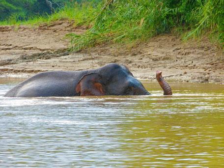 Pygmee olifant bij Sukau in Sabah op Borneo