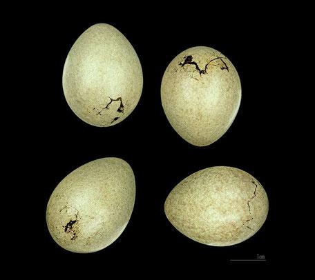 eier des eichelhaeher didier descouens museum de toulouse common license