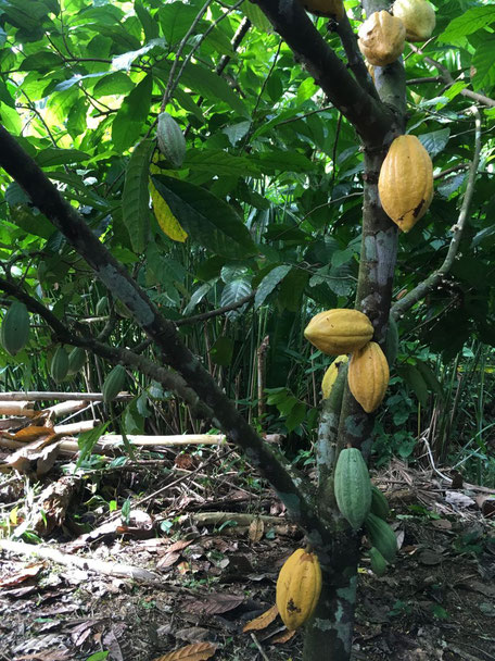 Cocoa tree with pods, Dominican Republic (Laura Henry, 2019)
