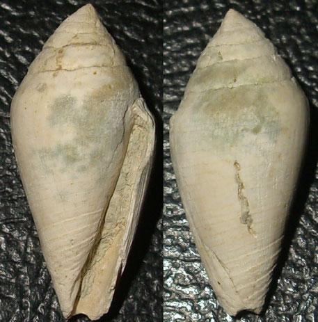 Conus dertogibbus, Macchia della Turchina, Monteromano (VT)