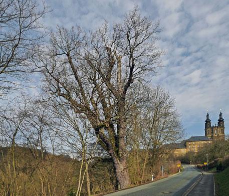 Eiche vor dem Kloster Banz
