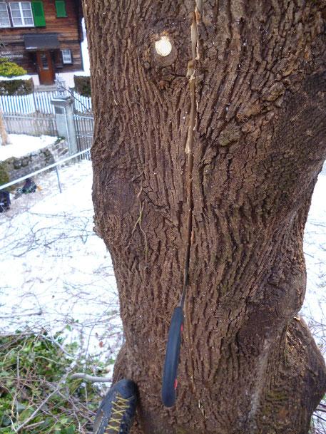Frostriss, Henzelmann Baumpflege Baumschnitt Fällung Spezialfällung Stockfräse Strunkfräse Pflanzung Arbeiten Spiez Bern Oberland Wallis Kanton Baum Bäume