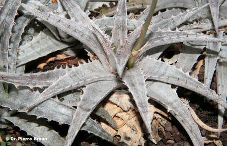 Dyckia joanae-marcioi, Pflanze aus Holotypaufsammlung / plant of holotype collection / planta da coleção de holótipo
