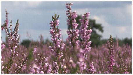 Schneverdingen Höpen Heideblüte im August