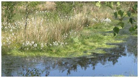 Pietzmoor Schneverdingen Wollgrasblüte im Frühling
