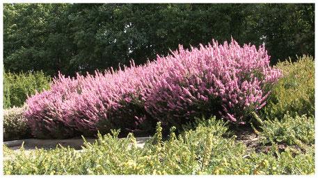 Schneverdingen Heidegarten Heideblüte