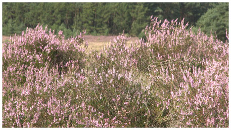 Lüneburger Heide Heideblüte