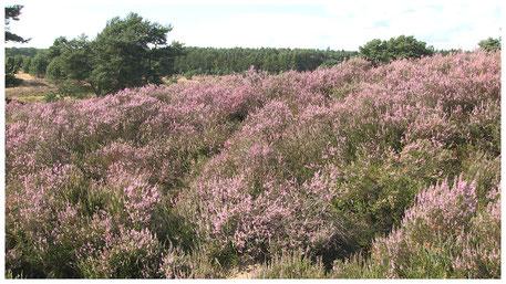 Lüneburger Heide Heideblüte im August
