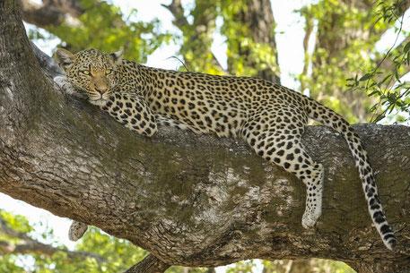 Big 5 Tiere Afrika Safari - Leopard