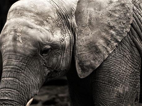 Big 5 Tiere Afrika - Elefant Nahaufnahme