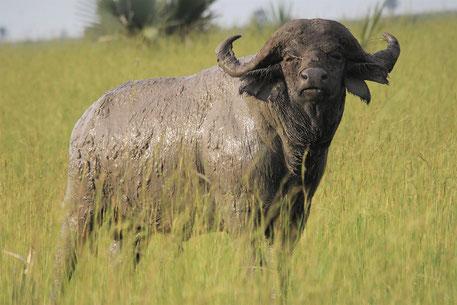 Big 5 Tiere Afrika Safari - Büffel