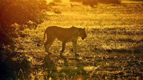 Big 5 Tiere Afrika Safari - Löwe