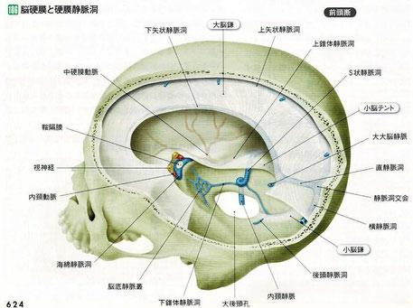 脳硬膜と硬膜静脈洞