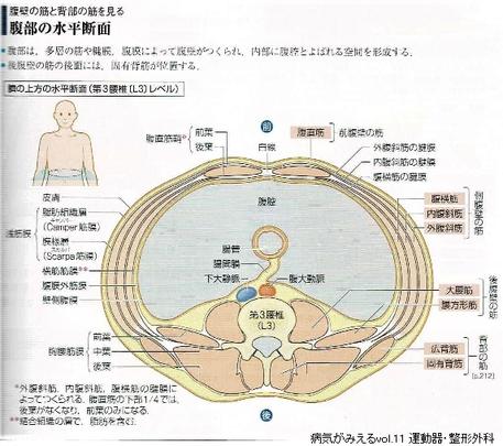 腹部の水平断面
