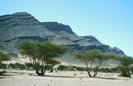 Station du Sahara marocain sur Acacias dans la région d'Icht (Bas-Drâa)