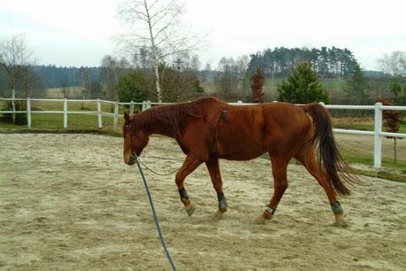 """Das Pferd """"Beryl"""" vor der Ausbildung mit Sieglinde Aumayer 2007."""