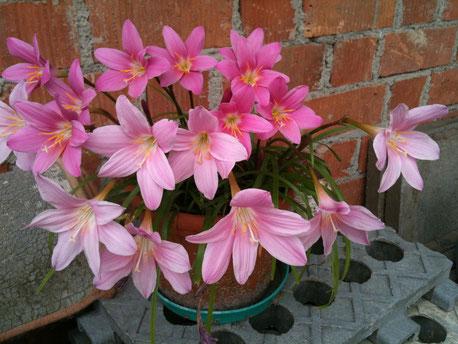 Mein Zephir gibts auch in Blumenform