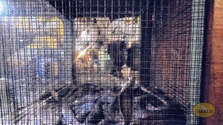 Gefangene Kobras in Jakarta