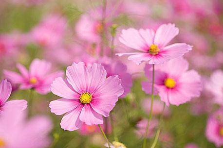 秋桜の花言葉は「調和」  残り1ヶ月半を、一丸で!