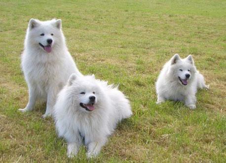 Unsere drei wunderschönen Samojeden