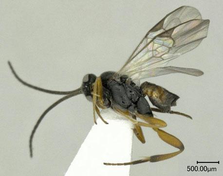 アオムシサムライコマユバチ Cotesia glomerata (Linnaeus, 1758)