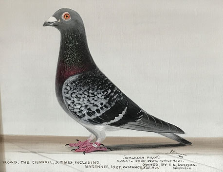 Andrew Browne, portrait of a racing pigeon