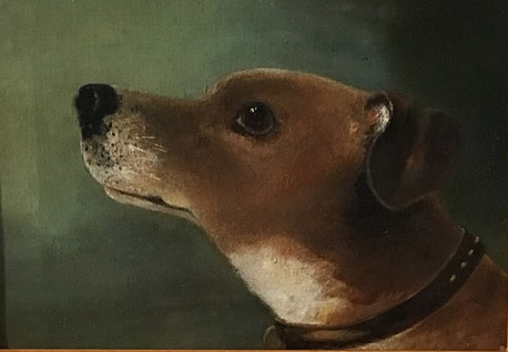 Head portrait of a Jack Russell